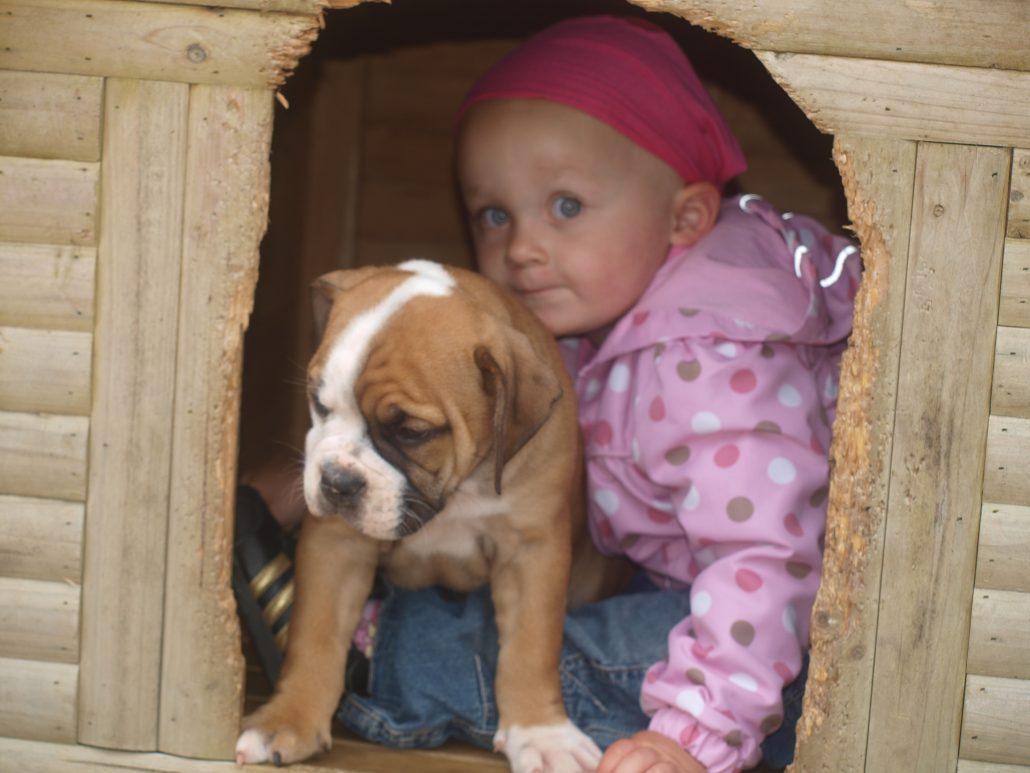 Continental Bulldog Welpe mit Kind in Hundehaus