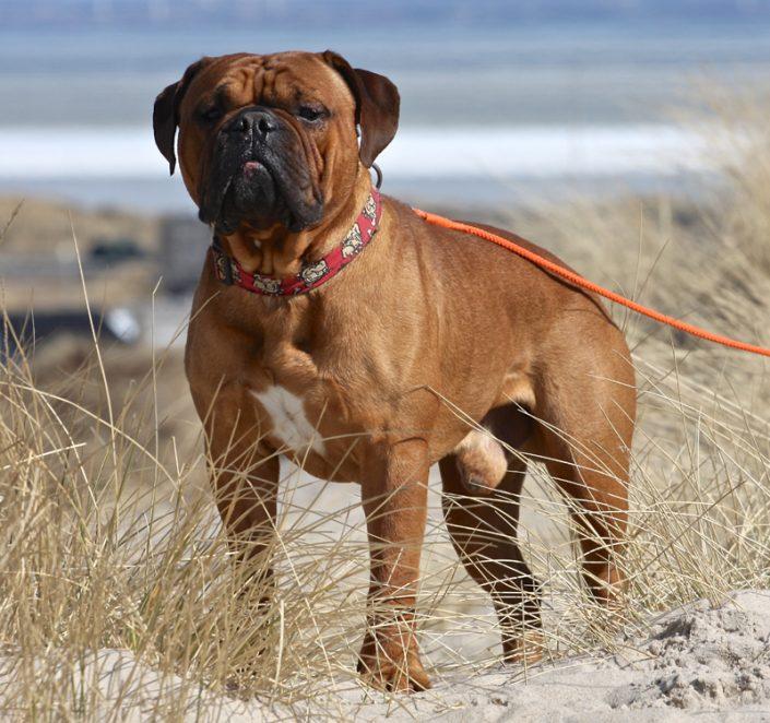 Bulldog in Dänemark