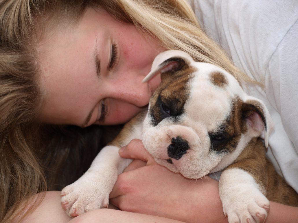 Continental Bulldog Welpe bekommt einen Kuss