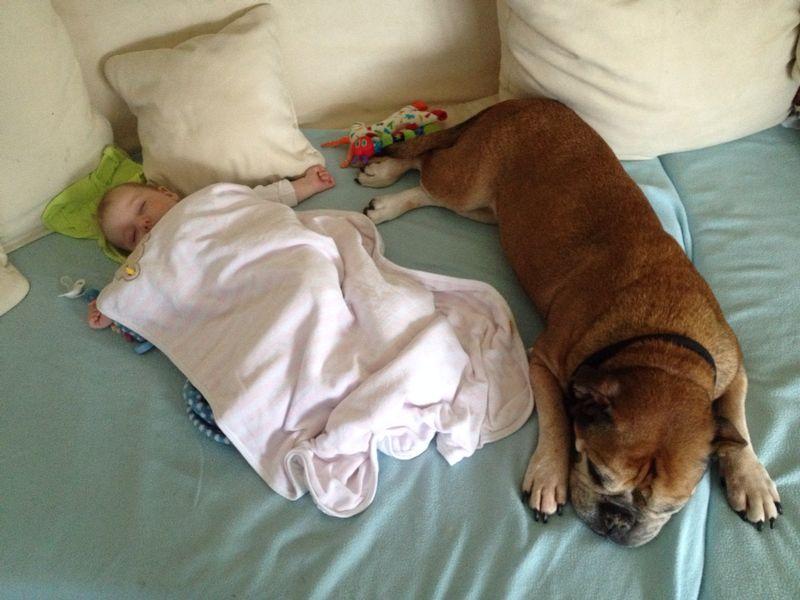 Baby schläft neben Continental Bulldog