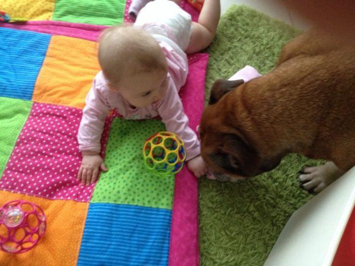 Kleinkind spielt mit continental Bulldog