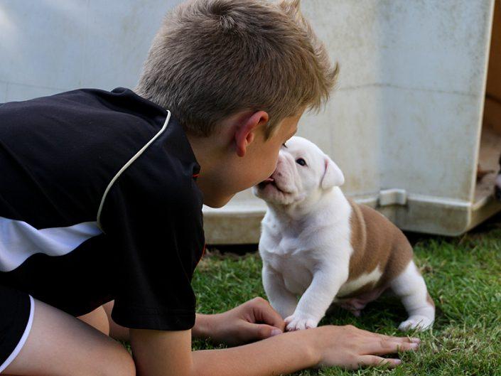 Continental Bulldog beim Spielen