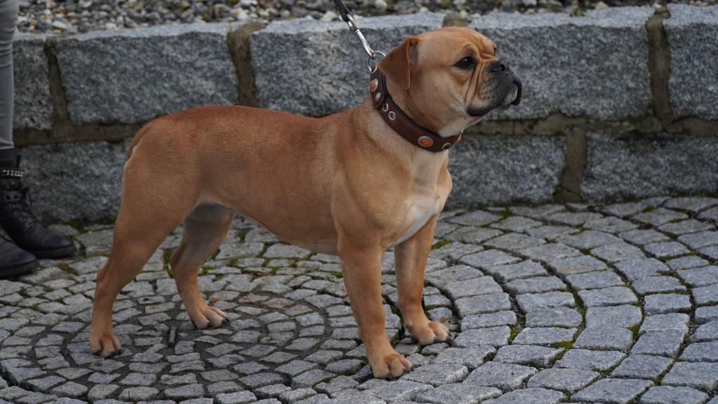 Continental Bulldog Zuchthündin Iowa